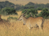Eland on the Savanna  Taurotragus Oryx  East Africa