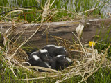 Striped Skunk Babies in their Nest  Mephitis Mephitis  North America