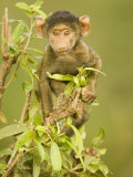 Olive Baboon Baby  Papio Anubis  East Africa