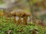 Poisonous Agaric Mushrooms (Cortinarius Gentilis) Growing Among Mosses on a Log