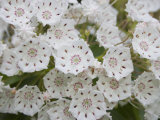 Mountain Laurel Flowers (Kalmia Latifolia)  Eastern North America