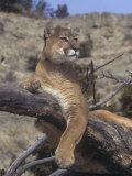 Mountain Lion  Cougar  or Puma (Felis Concolor)  Western North America
