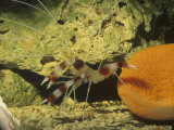 Banded Coral or Cleaner Shrimp  Tropical Oceans