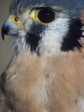 American Kestrel  Falco Sparverius  Head and Whiskers  North America
