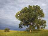 Two Cottonwood Trees in the Grassland of the Loess Hills  Iowa  USA