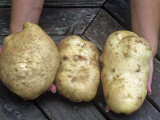 Irish Potatoes (Solanum Tuberosum)