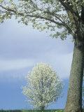 Bradford Pear Trees in Full Bloom  Kentucky  USA