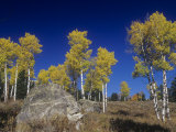 Quaking Aspens  Populus Tremuloides  in the Fall  Grand Teton National Park  Wyoming  USA