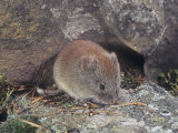 Boreal Red-Backed Vole (Clethrionomys Gapperi)  North America