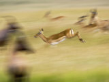 Female Impala  Coke&#39;s Hartebeest and Topi in Motion  Masai Mara Game Reserve  Kenya