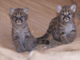 Mountain Lion  Cougar  or Puma Cubs  Felis Concolor  Western USA