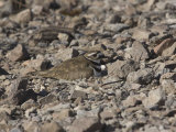 Killdeer (Charadrius Vociferous) Incubating Eggs on its Ground Nest on Rocky Soil  North America