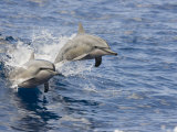 Two Spinner Dolphins (Stenella Longirostris) Leaping into the Air at the Same Time  Hawaii  USA