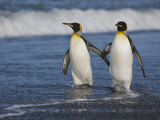 King Penguins (Aptenodytes Patagonicus) Walking Along the Beach  Salisbury Plain  South Georgia