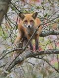 Red Fox in a Tree  Vulpes Vulpes  North America