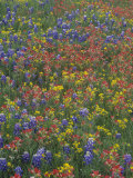 Meadow of Texas Bluebonnets  Texas Paintbrush  and Low Bladderpod Flowers  Hill Country  Texas  USA