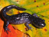 Jefferson Salamander (Ambystoma Jeffersonianum) Northeastern North America