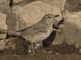Sage Thrasher Drinking at a Water Drip (Oreoscoptes Montanus)  Arizona  USA
