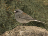 Dark-Eyed Junco  Gray-Headed Form  Perched on a Rock (Junco Hyemalis)  Arizona  USA