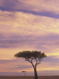 Acacia Trees Silhouetted at Twilight on the Savanna  Masai Mara Game Refuge  Kenya  Africa
