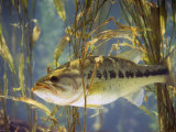 Largemouth Bass (Micropterus Salmoides)  the Georgia  Usa State Animal