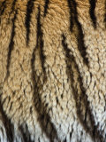 Close Up of the Bengal Tiger Fur and Stripe Pattern (Panthera Tigris)