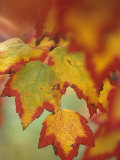 Red Maple Tree Leaves in their Fall Colors  Acer Rubrum  North America