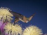 Female Rufous Hummingbird  Selasphorus Rufus  Nectaring at Flowers  Western USA