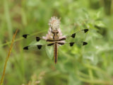 Twelve-Spotted Skimmer Dragonfly (Libellula Pulchella)