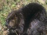 Beaver on Land Near a Pond (Castor Canadensis), North America Papier Photo par Tom Walker