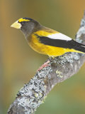 Male Evening Grosbeak (Coccothraustes Vespertinus) Eastern North America