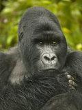 Mountain Gorilla  Gorilla Gorilla Beringei  Volcanoes National Park  Rwanda  Africa