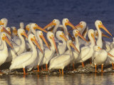 White Pelican Group  Pelecanus Erythrorhynchos  Florida  USA