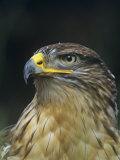Ferruginous Hawk Head  Buteo Regalis  Southwestern USA