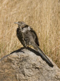 Greater Roadrunner (Geococcyx Californianus) Sunbathing on a Rock  Arizona  USA