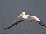 American White Pelican Flying (Pelecanus Erythrorhynchos)  North America