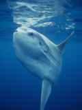Ocean Sunfish (Mola Mola)  the World's Largest Bony Fish  Pacific Ocean  California  USA
