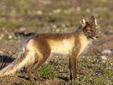 Male Arctic Fox in Summer Coloration on the Arctic Tundra (Alopex Lagopus)  Alaska  USA
