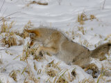 Coyote (Canis Latrans) Hunting Mice in Snow