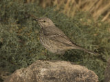 Sage Thrasher (Oreoscoptes Montanus) Perched on a Rock  Arizona  USA