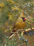 A Female Northern Cardinal (Cardinalis Cardinalis) in Red Cedar  Eastern North America