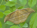 Saturnid Moth Adult Male (Copaxa Decreasens) Ecuador