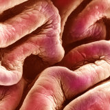 Folds of the Human Bladder Epithelium