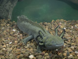 Mexican Axolotl  Ambystoma Mexicanum  a Neotenic Tiger Salamander Underwater  Mexico