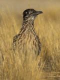 Greater Roadrunner (Geococcyx Californianus)  California  USA