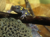 Spotted Salamander in a Vernal Pool with Eggs  Ambystoma Maculatum   Northeastern USA