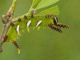 Moth Caterpillar Fourth Instar Eating a Leaf (Adeloneivaia Jason) Ecuador
