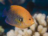 Potter's Angelfish (Centropyge Potteri) are Endemic to Hawaii  USA