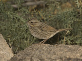 Lincoln's Sparrow (Melospiza Lincolnii) Perched on a Rock  Arizona  USA