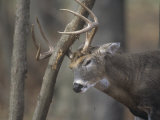 White-Tailed Deer Buck Rubbing its Antlers on a Tree (Odocoileus Virginianus)  North America